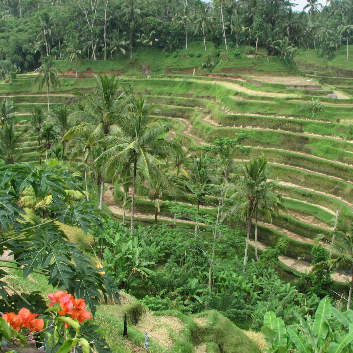 Rice_Terrace_in_Ubud