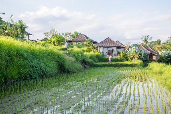 Surrounding Rice-Fields